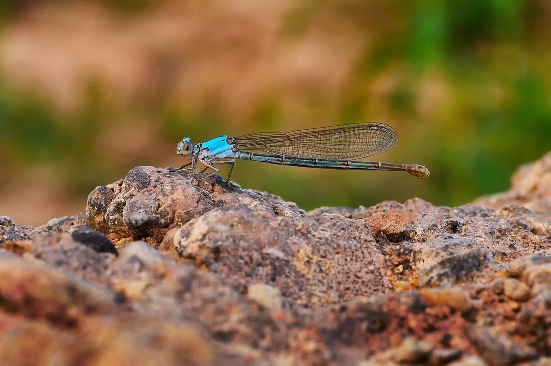 Damsel Fly (The Blue One)